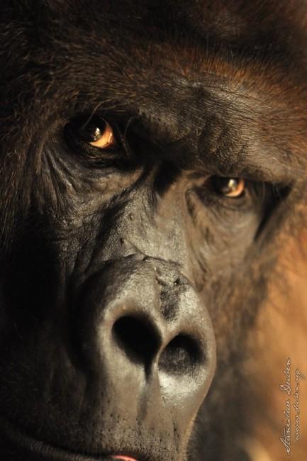 gorila stanislav duben