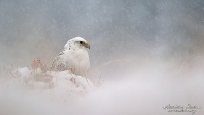 raroh lovecky v blizzardu stanislav duben